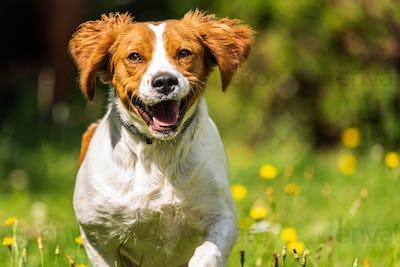 Brittany dog spaniel female puppy running towards camera