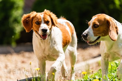 Brittany dog and Beagle dog together on sunny hot day