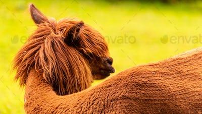 A beautiful young brown Alpaca lama posing for the camera