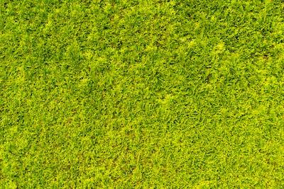 Green and dense Thuya wall texture