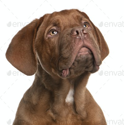 Dogue de Bordeaux puppy, 5 months old, looking up in front of white background