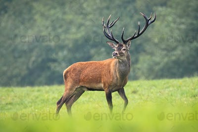 Majestic red deer stag standing on meadow in summer nature