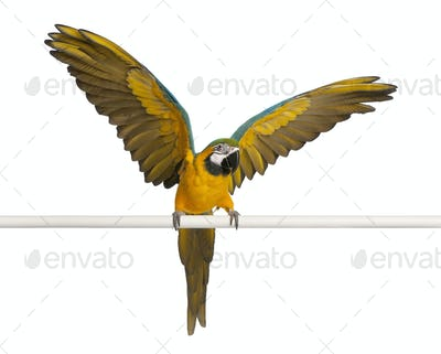 Blue and Yellow Macaw, Ara Ararauna, perched and flapping wings in front of white background