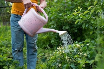 watering flowers using can in garden. No face view.