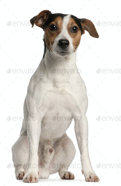 Jack Russell Terrier, 4 years old, sitting in front of white background
