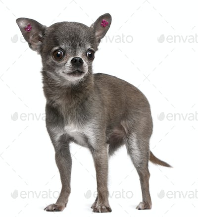 Chihuahua (7 years old)