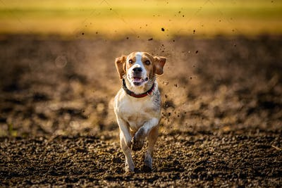 Dirty Dog Beagle running fast and jumping with tongue out through field in a spring