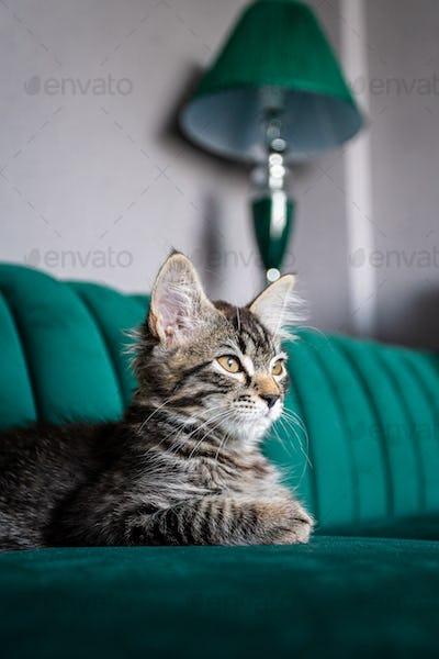 kitten is very beautiful.  gray kitten