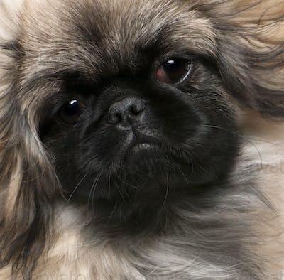 Pekingese puppy (6 months old)