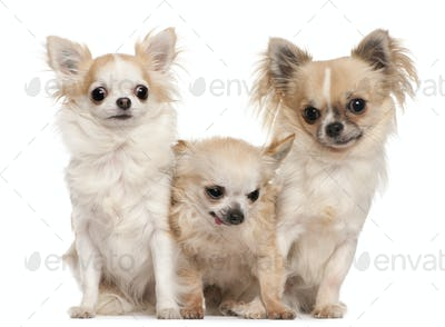Chihuahua (5 years old), Chihuahua (14 years old), Chihuahua (1 year old)
