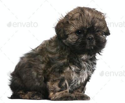 Shih Tzu puppy (8 weeks old)