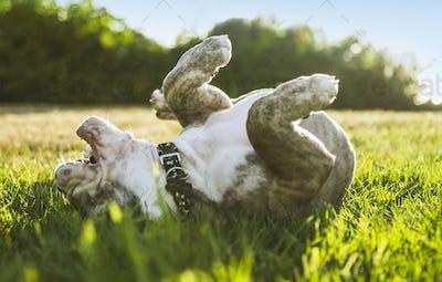 Olde English Bulldog puppy rolling in field