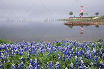 Blue Bonnets on a Beach with Lighthouse