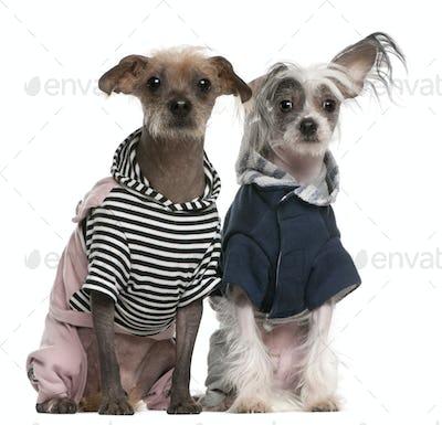 Peruvian Hairless Dog (2 years old), Peruvian Hairless Dog (1 year old)