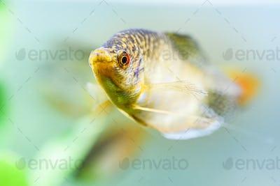 Opaline Gourami Trichopodus trichopterus tropical aquarium fish