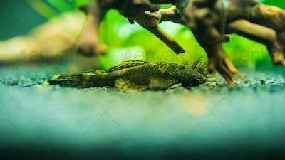 Bushymouth catfish freshwater aquarium fish