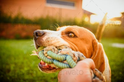 Dog beagle Pulls strap toy sock and Tug-of-War Game in garden outdoors summer day