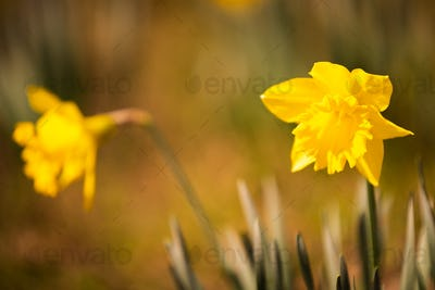Yellow Daffodils on the meadow before spring.