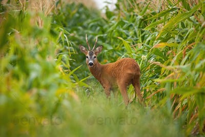 Roe deer buck looking back in corn field during the summer