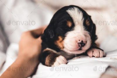 Bernese mountain dog puppy in female hands, care for animals, newborns