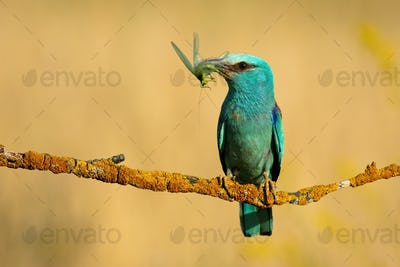 European roller with a catch of green winged insect perched on twig