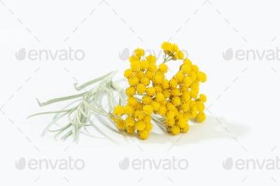 Helichrysum italicum plant