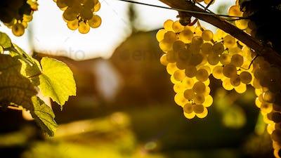 Bunch of white gapes on a crop before ripe Styria Steiermark Austria summer autumn