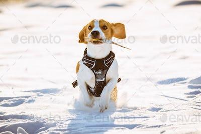 Dog run Beagle fun in snow