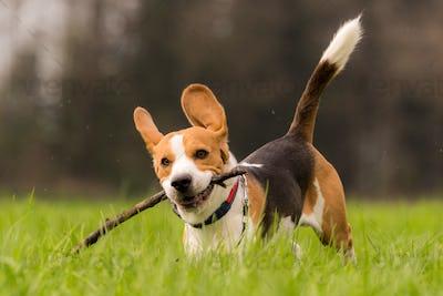 Beagle dog in a field runs with a stick