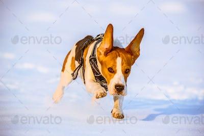 Beagle dog run with ears up on the snow