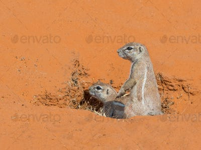 Cape Ground Squirrel Pair in Kalahari
