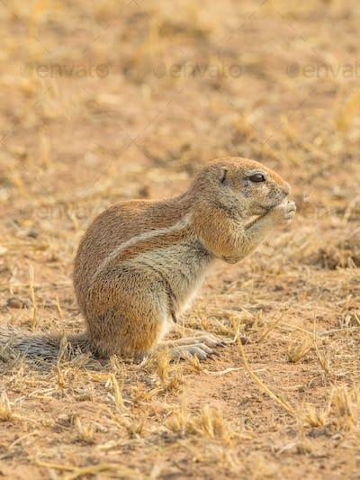 A Cape Ground Squirrel Feeding