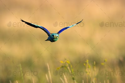 Colorful european roller flying over the field in summer