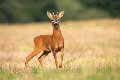 Young roe deer standing on stubble field in summer nature