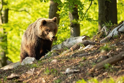 Wild brown bear standing in summer nature at sunset