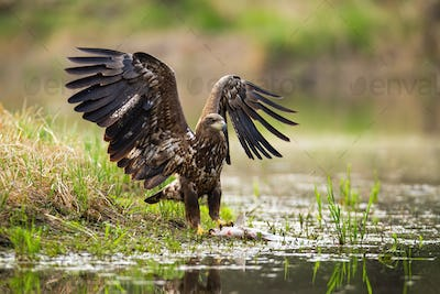 White-tailed eagle landing with spoil on the shore