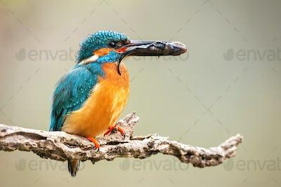 Male common kingfisher holding prey in beak on branch