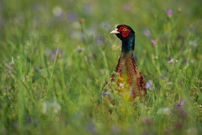 Common pheasant cock standing on meadow in summertime