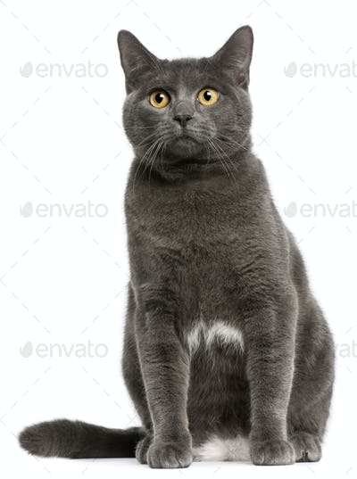 Chartreux (6 months old), Persian (5 months old)