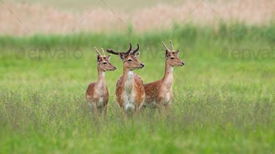 Three majestic fallow deer stags standing on meadow in summer