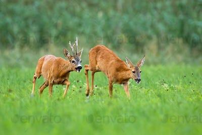 Pair of roe deer running on meadow in rutting season