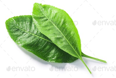 Horseradish leaves  (Armoracia rusticana foliage) isolated w clipping paths, top view