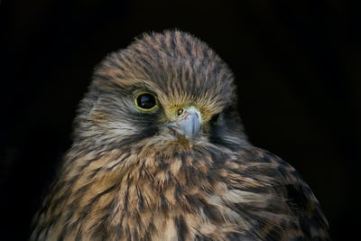 Common kestrel (Falco tinnunculus) Juvenile