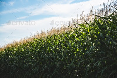 Closeup of a young maize plant in summer. Corn field