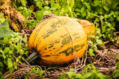 Orange pumpkin sitting in field in grass