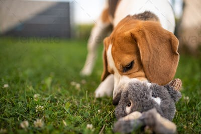 Dog with plush toy bunny rabbit in summer in garden