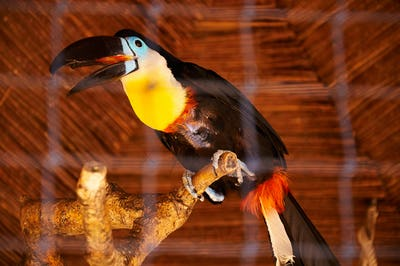 Beautiful Toucan in captivity