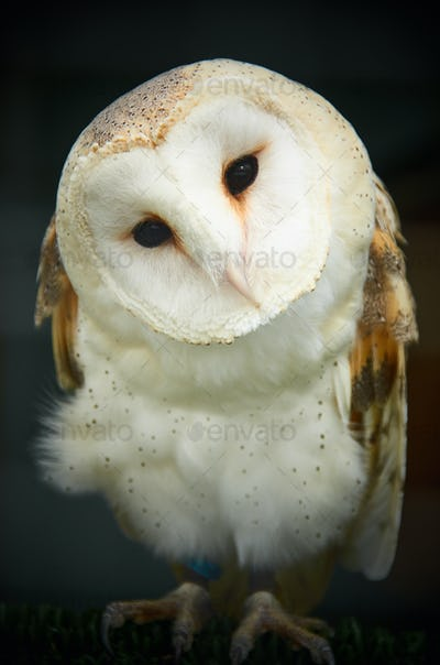 Barn owl closeup of face