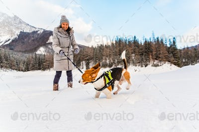 Beagle dog first time on snow with owner.
