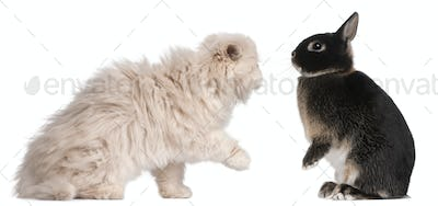 Young Persian cat and rabbit playing in front of white background